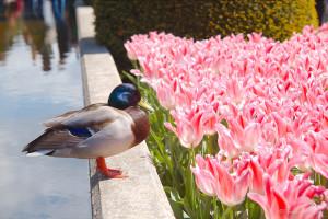 ©Duck Tulip